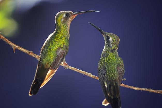 Close-up shot van twee kolibries neergestreken op een boomtak op blue