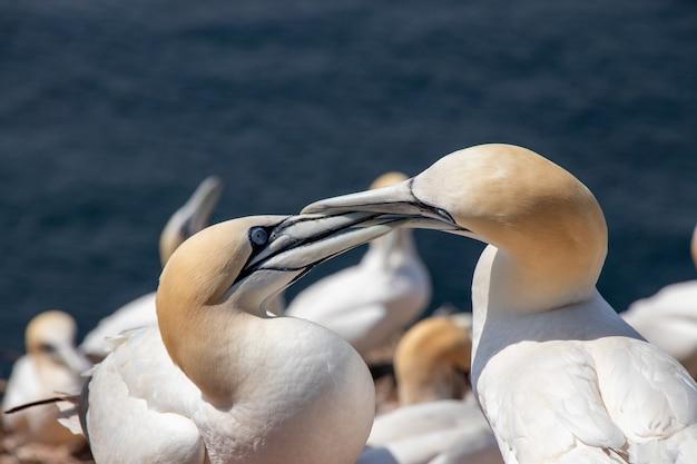 Close-up shot van twee noordelijke jan-van-gent kussen