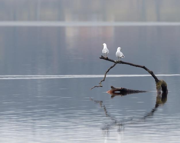 Close-up shot van twee witte meeuwen staande op een stuk hout in het water