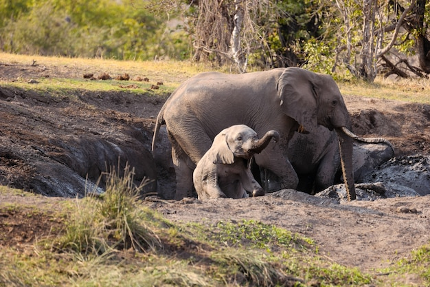 Close-up shot van volwassen en jonge olifanten in de natuur