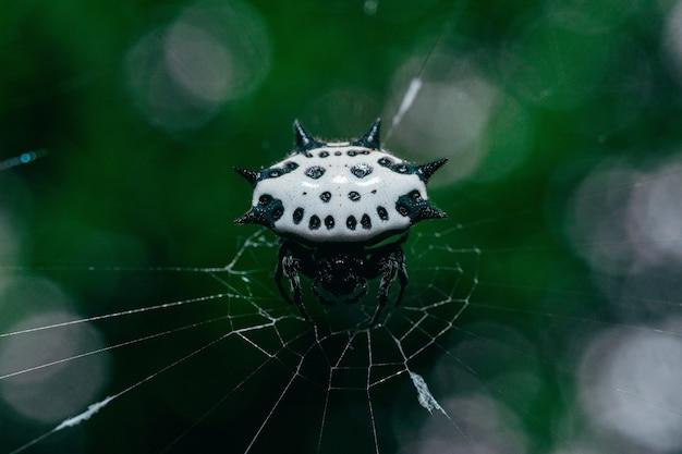 Close-up shot van vrouwelijke doornige orb-wever