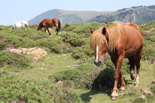 Close-up shot van witte en bruine paarden die grazen op een groen heuveltopveld onder de blauwe hemel
