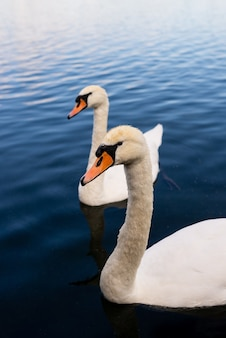 Close-up shot van witte zwanen op het meer
