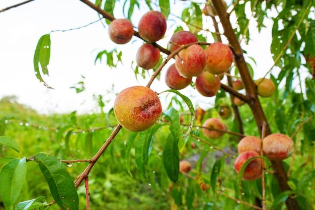 Close-up, tak van een boom perzik met rijpe rode sappige vruchten in een groene tuin. zomer vitamines