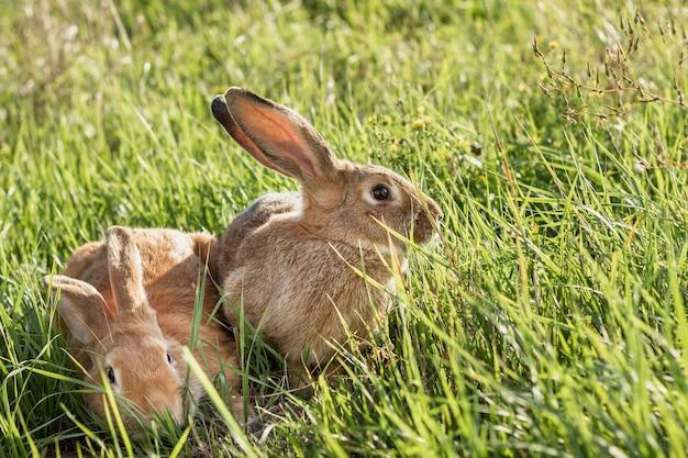 Close-up tam konijn bij landbouwbedrijf