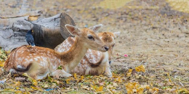 Close-up, twee herten op de grond liggen natuurlijke herten
