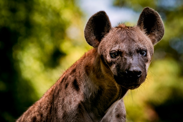 Close-up van afrikaanse hyena in de jungle