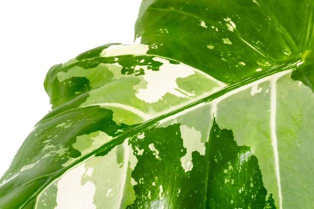 Close up van alocasia blad op witte achtergrond