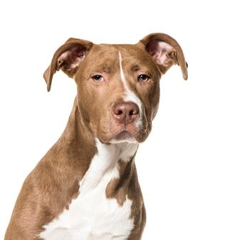 Close-up van amerikaans pit bull terrier