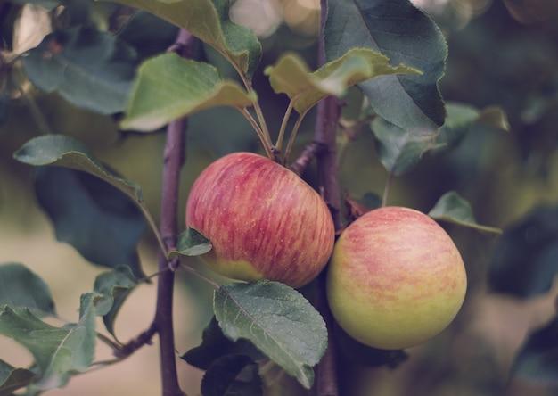Close up van appels op een tak in de tuin