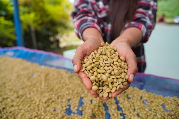 Close-up van arabica-koffiebonen die zijn gesorteerd in de handen van een boer die op een hoogte is geplant in het mae wang-district, in de provincie chiang mai.