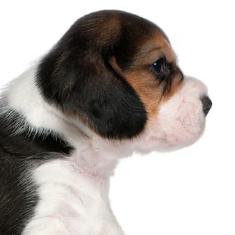 Close-up van beagle puppy, 1 maand oud,