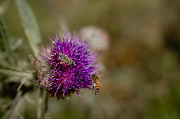 Close up van bee verzamelt honing van distel, macro.