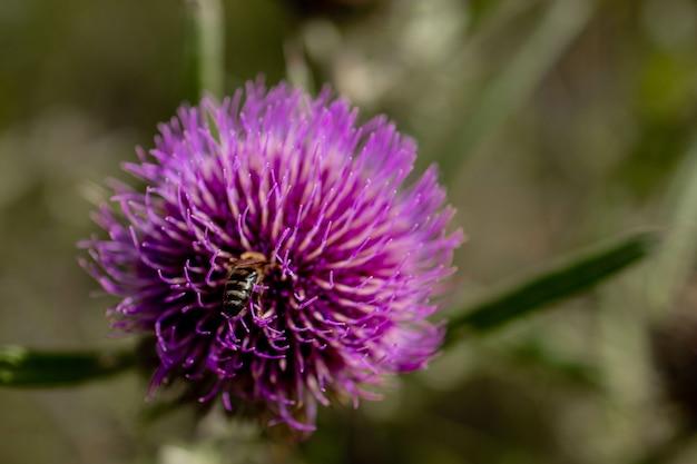 Close up van bee verzamelt honing van distel