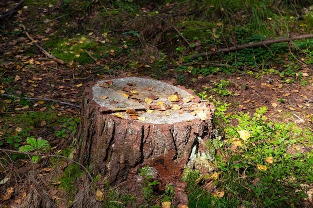 Close-up van bemoste stronk met een paddenstoel erboven en droge dennennaalden in het herfstbos, bossubstraat, gevallen herfstgebladerte, droge herfstbladeren, selectieve focus op de voorgrond