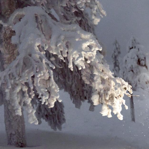 Close up van besneeuwde bomen in riisitunturi national park, finland