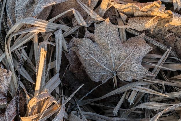 Close-up van bevroren rijm-esdoornblad tussen ijzig gras, bladeren en andere planten aan de vroege koude ochtendzijde verlicht door zonlicht