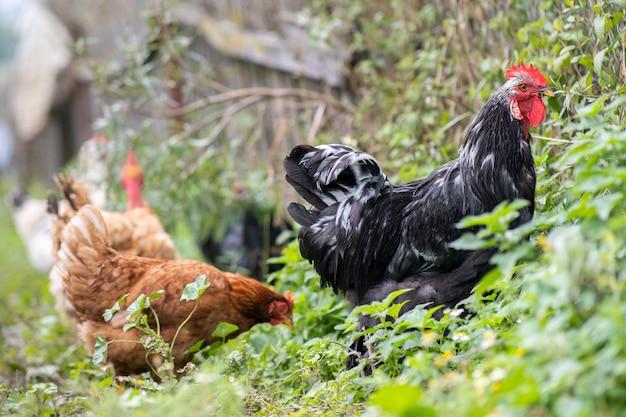 Close-up van binnenlandse kip die op traditioneel landelijk boerenerf voedt. kippen op boerenerf in eco-boerderij. vrije uitloop pluimveehouderij concept.