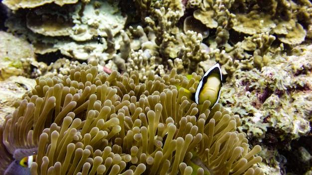 Close up van black anemone vis in maldiven.