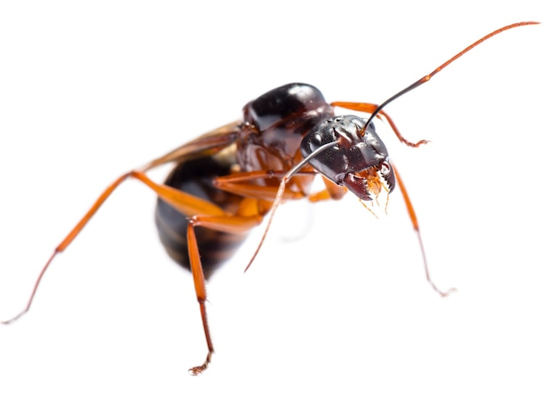 Close up van black carpenter ant of camponotus pennsylvanicus (gevleugelde man) op witte achtergrond