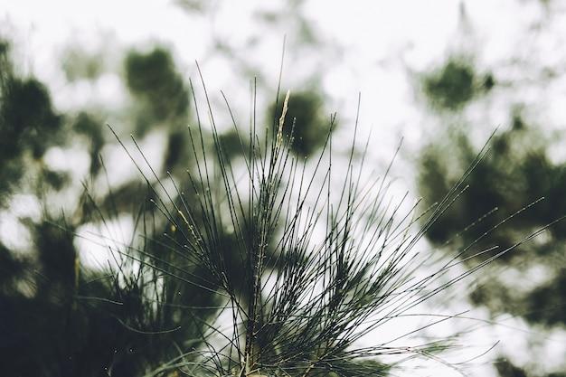 Close-up van bladeren van australische den, beefwood, ijzerhout, valse ijzerhout, valse pijnboom, queensland moeraseik, zee-eik, zij eik, boom beefwood. (casuarina equisetifolia).