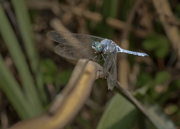 Close-up van blauwe libel op plant