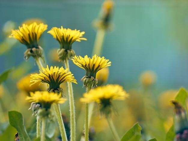 Close up van bloeiende gele paardebloembloemen.