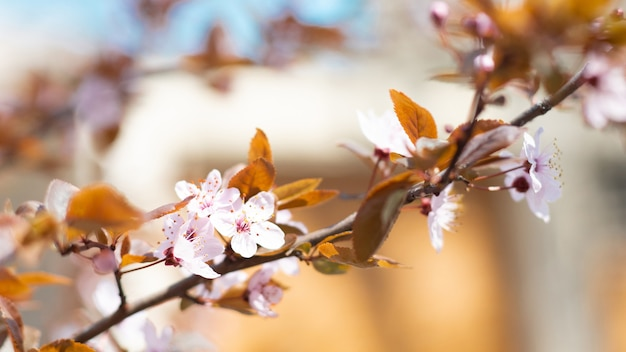 Close-up van bloeiende kersenboom in het voorjaar op pastel bokeh background