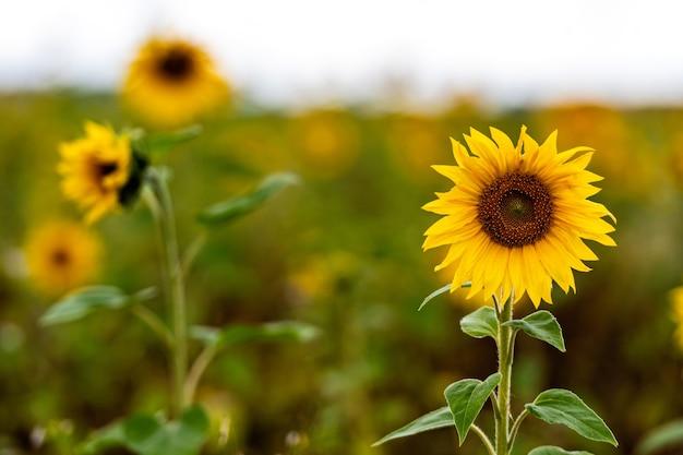 Close-up van bloeiende zonnebloemen in een veld in de regendag, ondiepe scherptediepte