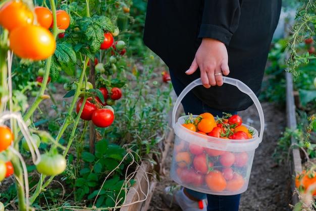 Close-up van boerenhanden die rode tomaat oogsten in kas