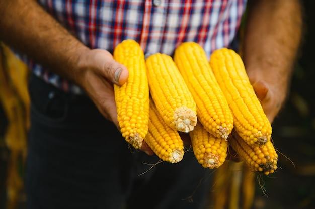 Close up van boerenhanden met maïskolven in het veld