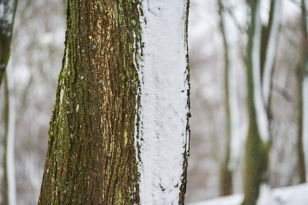 Close-up van boomstammen bedekt met verse sneeuw. winter boslandschap, kopieer ruimte.