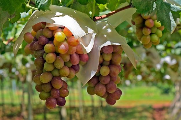 Close-up van bos van tafeldruiven op wijnstok
