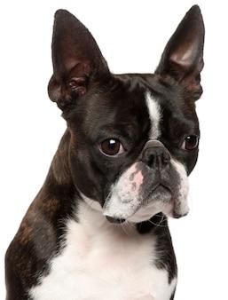 Close-up van boston terrier, 1 jaar oud,