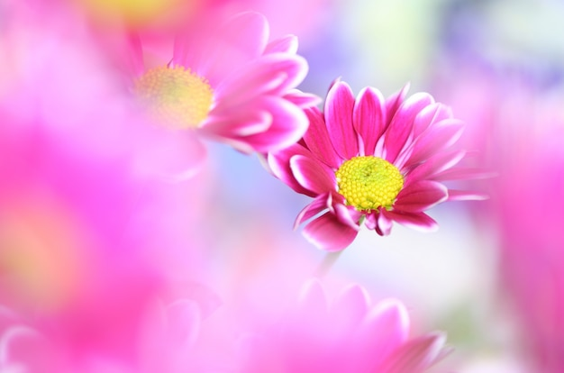 Close-up van chrysant