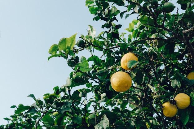 Close-up van citroenen op de boom