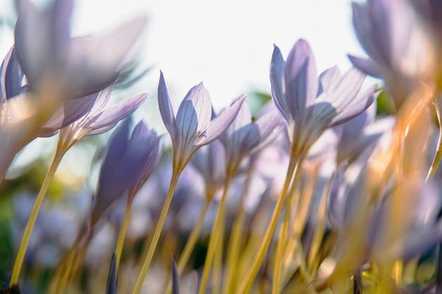 Ð¡ close up van crocus - lente paarse bloemen, zachte focus