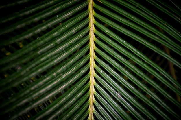 Close up van cycad blad op donkere achtergrond.