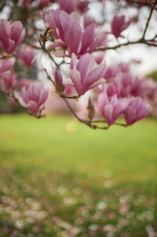 Close-up van de bloemen van een boom genaamd tulpenmagnolia.
