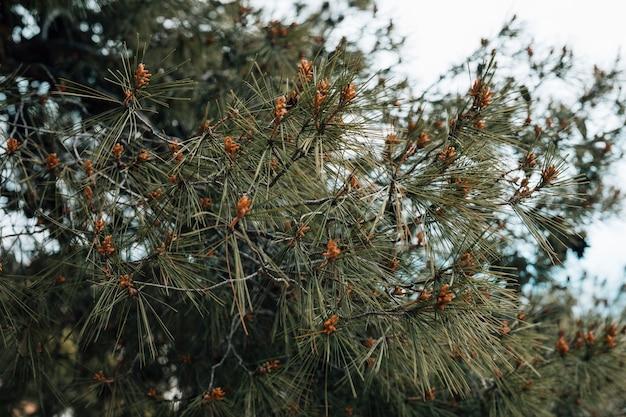 Close-up van de groene boom van de naaldpijnboom