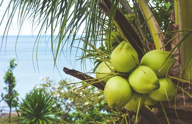 Close-up van de groene verse kokosnoot in het bos bij een boom met zee-achtergrond