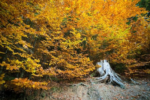 Close-up van de grote wortel van een zeer oude boom, omringd door gele en groene bladeren.