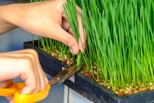 Close-up van de hand snijden tarwe gras met een schaar voor het maken van tarwe grassap