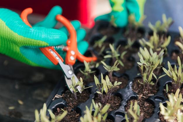 Close-up van de hand van de mannelijke tuinman die handschoenen draagt die de zaailing met snoeischaar snoeien