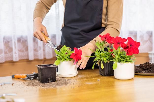 Close-up van de handen die van de jonge vrouw petunia-bloem planten in nieuwe pot van zaailingspot