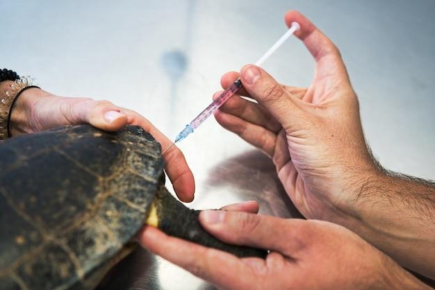 Close-up van de handen van een paar dierenartsen die een spuit in een kleine zieke schildpad op een aluminiumwerkbank inspuiten.