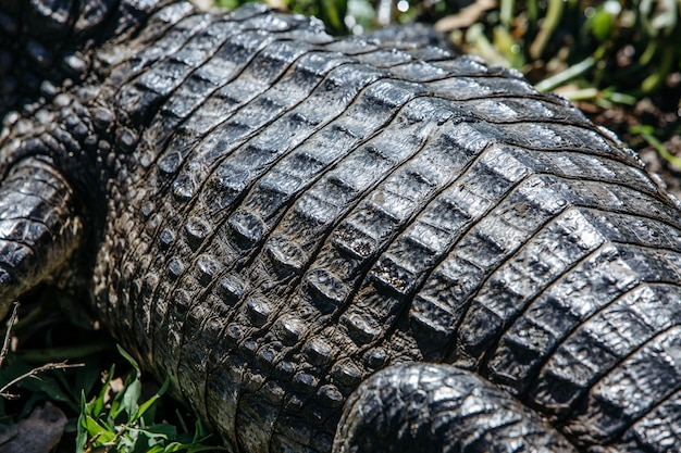 Close-up van de huid van een amerikaanse krokodil omgeven door groen onder het zonlicht