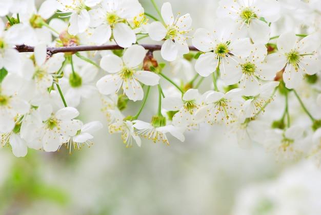 Close up van de lente kersenbloesems