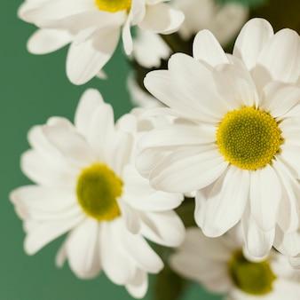 Close-up van de lentemadeliefjes