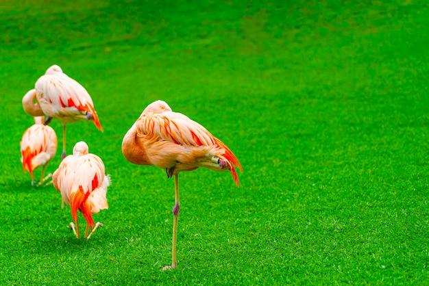 Close-up van de mooie slaap van de flamingogroep op het gras in het park